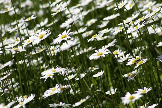 Photo free wildflower, white, flowers
