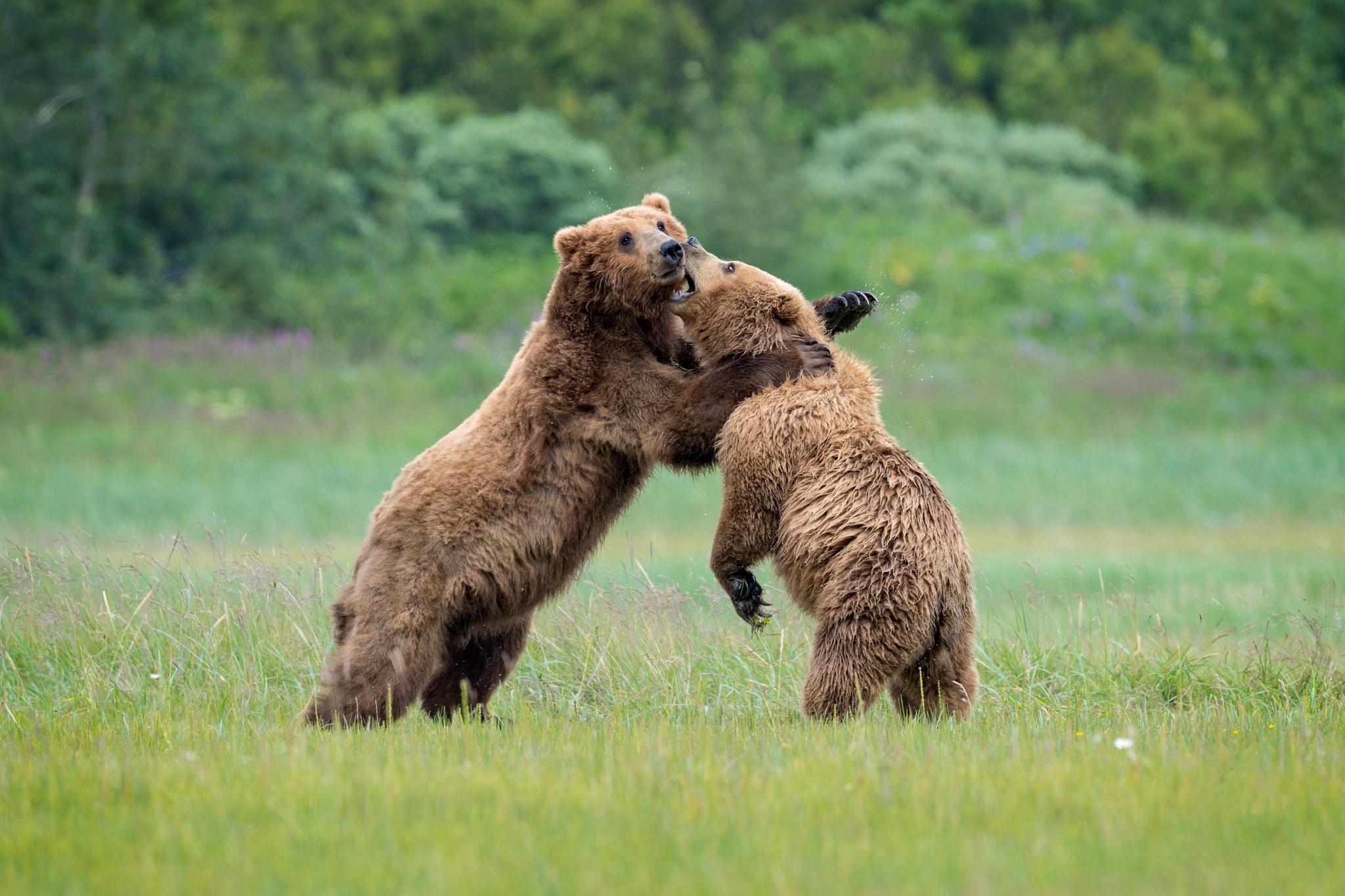 Обои бурый медведь, бурые медведи, хищное млекопитающее, медвежата