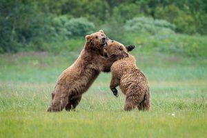 Бесплатные фото бурый медведь,бурые медведи,хищное млекопитающее,медвежата