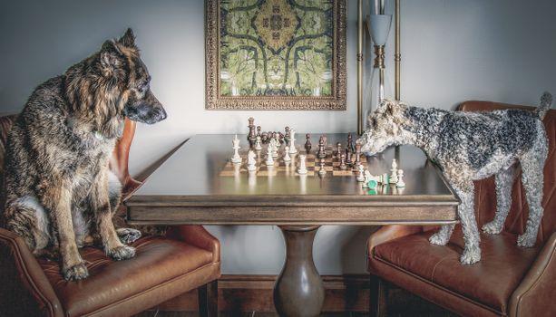 Фото бесплатно собаки, шахматы, игра