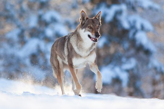 Download screensaver wolf, animal