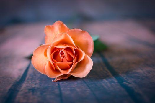Заставки цветок, роза, флора