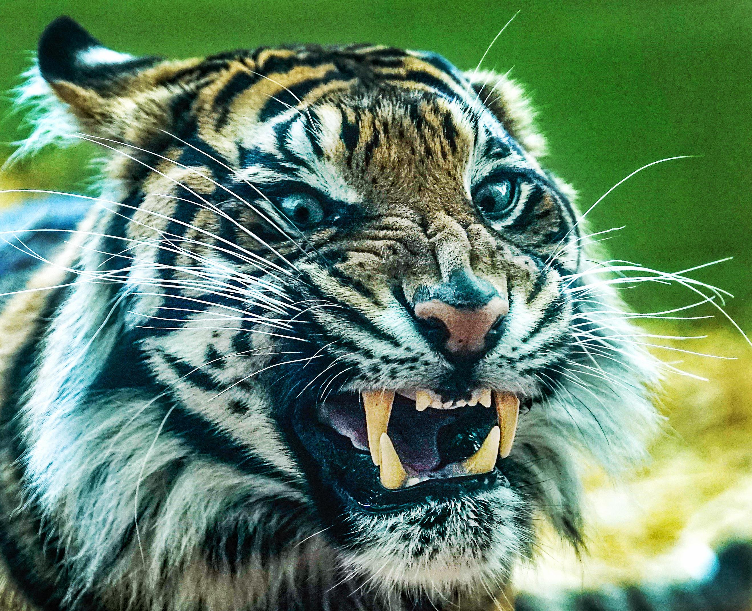 Обои тигр, оскал, хищник