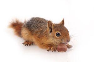 Фото бесплатно животное, белки, орехи