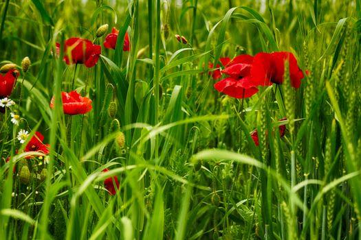 Фото бесплатно макро, зеленый фон, маки