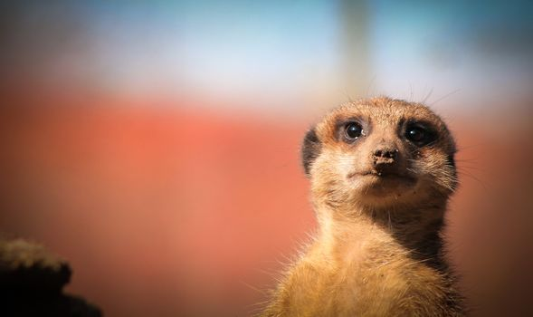 Meerkat in disbelief