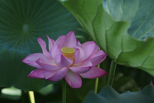 Lotus and lotus petals - free photo