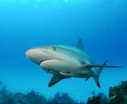 Screensaver marine life, sharks on your desktop