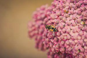 Фото бесплатно пчела, розовые цветы, насекомые