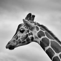 Фото бесплатно giraffidae, черно-белый, бесплатные изображения