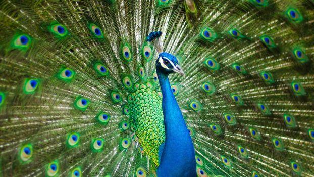 Фото бесплатно павлин, хвост, величественный