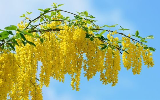 Фото бесплатно желтая акация, дерево, лето