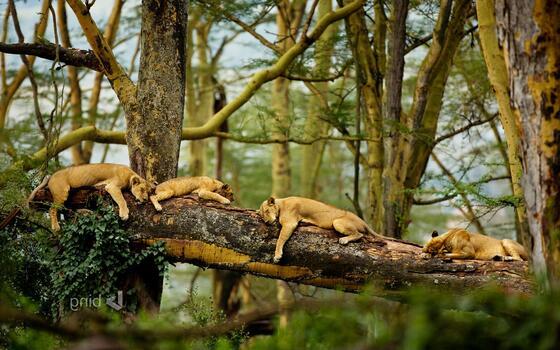 Photo free predator, wild cats, sleeping cats