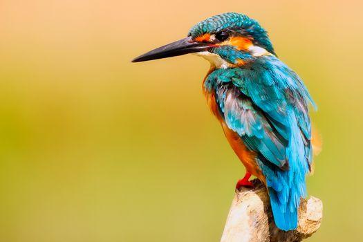 Photo free kingfisher, animals, birds