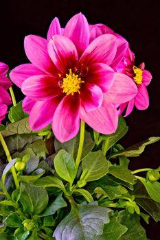 Photo free flower, pink color, dahlias