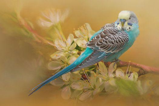 Волнистый попугай на цветущей ветке · бесплатное фото