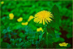 Фото бесплатно одуванчик, цветок, цветы