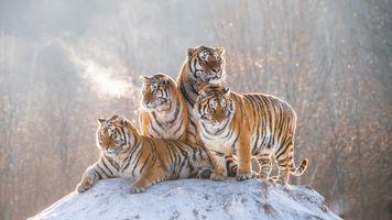 Четыре бенгальских тигра · бесплатное фото