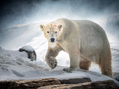 Photo free polar bear, polar bear, predator