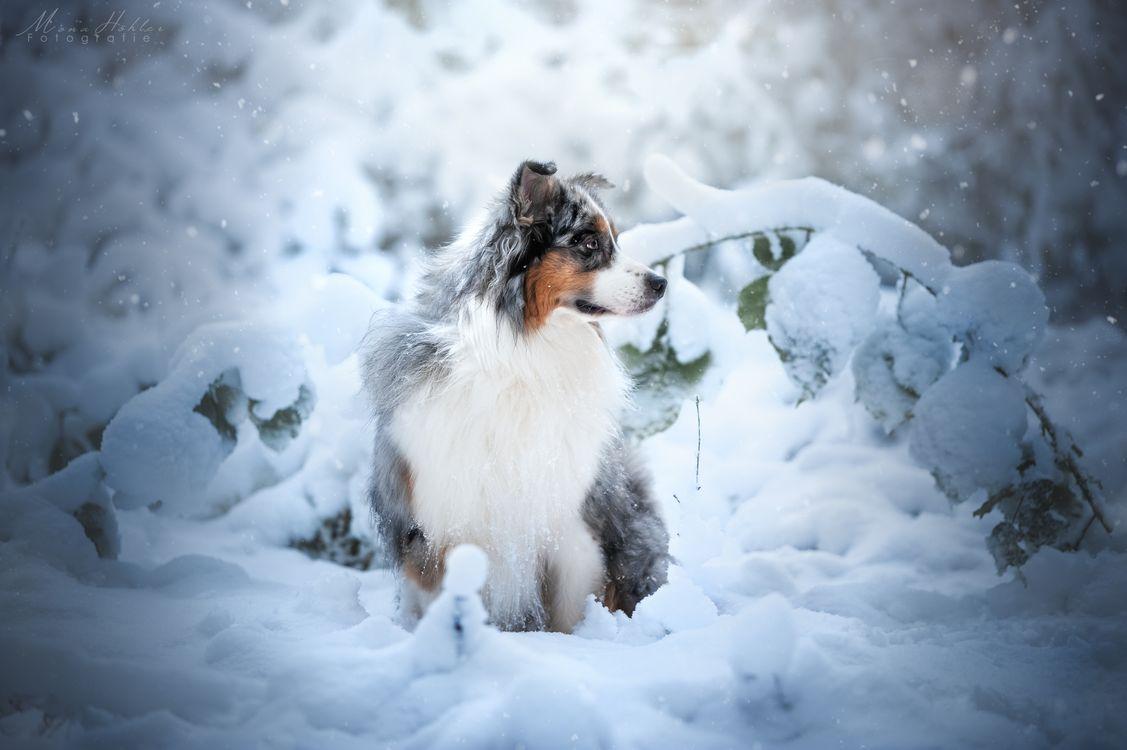 Обои собака, австралийская овчарка, снег картинки на телефон