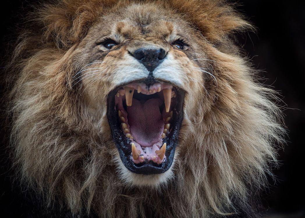 Фото бесплатно лев, хищник, оскал, животное, животные