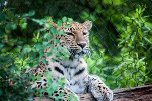 Заставки леопард, большие кошки, лежа