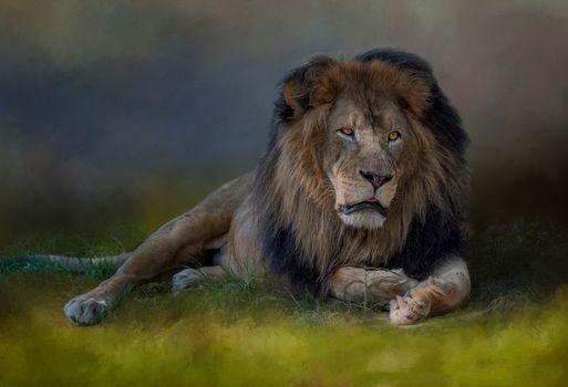 Фото бесплатно грустный лев, хищник, животное