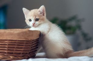 Заставки kitten, white, basket
