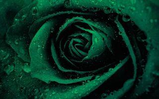 Фото бесплатно роза, зеленая, капли, роса