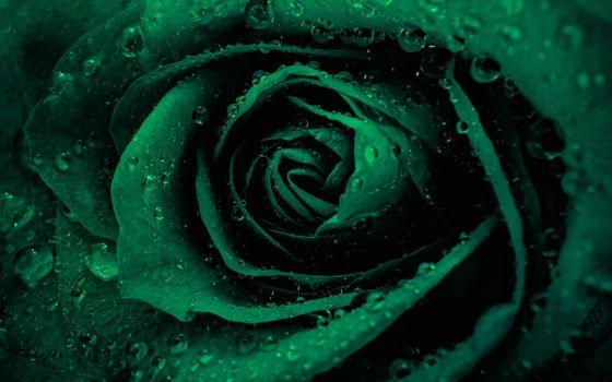 Фото бесплатно роза, зеленая, капли