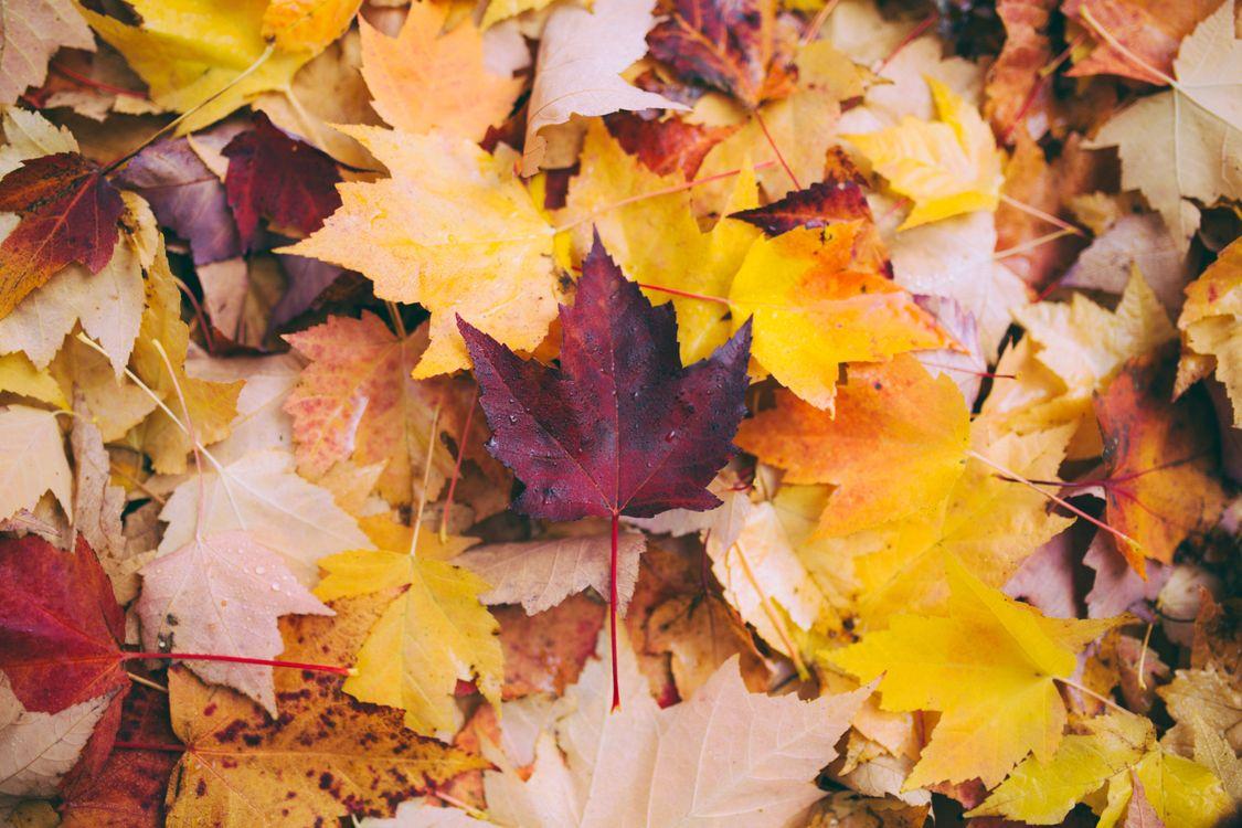 Осенние листья клена · бесплатная заставка