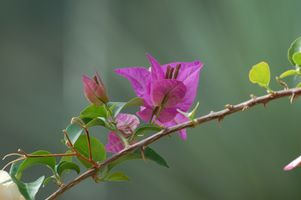 Photo free Bougainvillea, plant, flower
