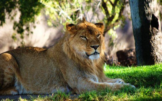 Фото бесплатно лев, трава, лежа