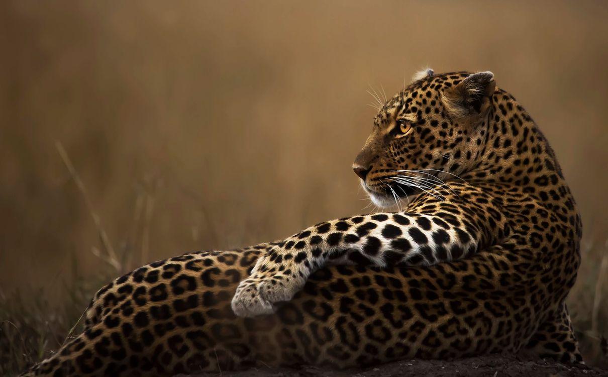 Фото бесплатно леопард, лежа, ленивый - на рабочий стол