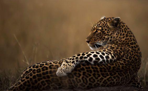 Фото бесплатно леопард, лежа, ленивый