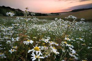 Бесплатные фото закат,поле,холмы,цветы,ромашки,пейзаж