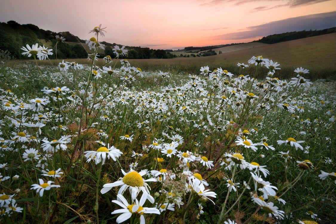 Фото бесплатно закат, поле, холмы, цветы, ромашки, пейзаж, пейзажи