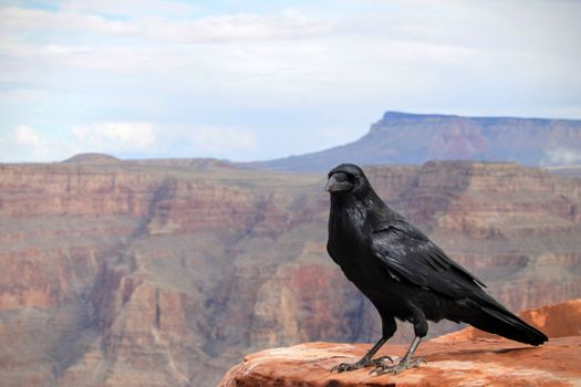 Photo free raven, black, on earth