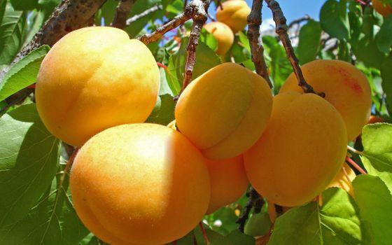 Photo free tree, apricots, fruits