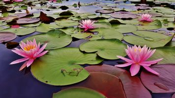 Free water lilies, pond best photo