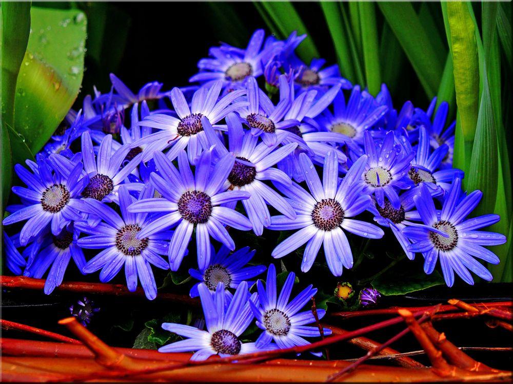 Фото бесплатно цветы голубой цветок ромашка - на рабочий стол