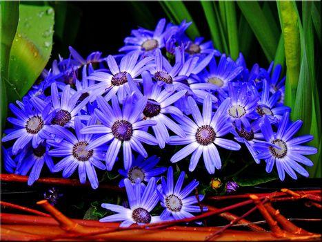 Фото бесплатно цветы, голубой цветок, ромашка