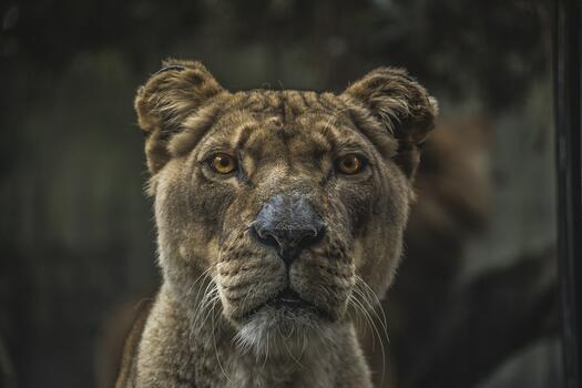 Фото бесплатно лев, животные, большая кошка