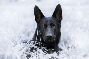 Фото бесплатно Немецкая овчарка, собака, домашнее животное