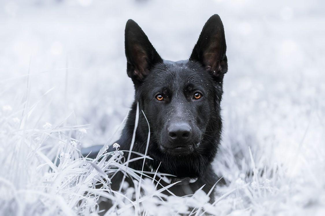 Фото бесплатно Немецкая овчарка, собака, домашнее животное - на рабочий стол