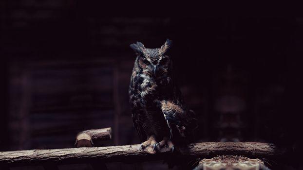 Фото бесплатно сова, величественная, хищные птицы