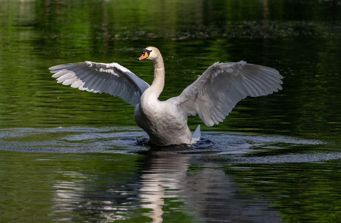 Фото вода крылья птицы животное - бесплатные картинки на Fonwall