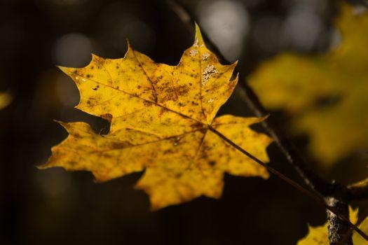 Заставки кленовый лист, макро, осень
