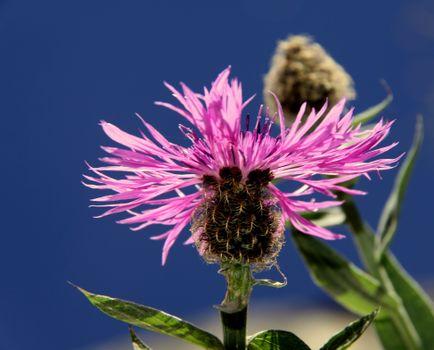 Фото бесплатно полевой цветок, лепесток, наземное растение