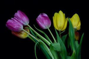Бесплатные фото тюльпаны, цветы, чёрный фон, флора